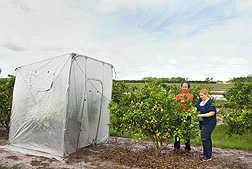 tăng nhiệt cho cây trong các lều phủ năng lượng mặt trời có thể giúp ích cho một số nông dân có vườn cam quýt đang bị tàn phá.