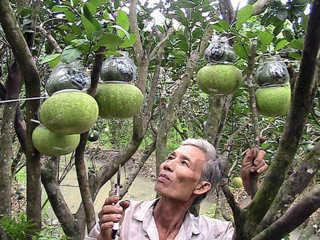 Bưởi Năm Roi hồ lô - một đặc sản đã giúp nhiều nông dân huyện Châu Thành, tỉnh Hậu Giang làm giàu.