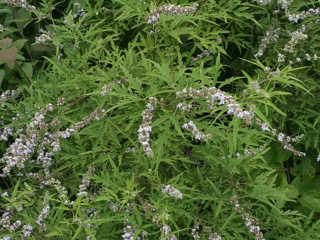 cây và hoa ngũ trảo