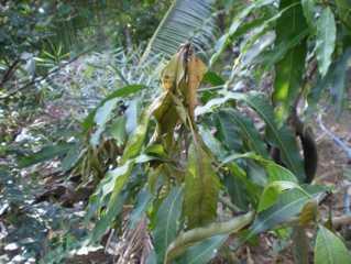 Bệnh khô đọt trên cây xoài