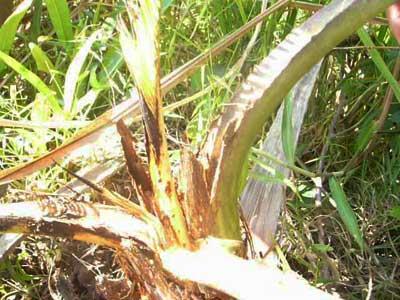 Triệu chứng đầu tiên là những lá non ở đọt và những lá kế bị vàng từ ngoài chót sau đó lan dần vào bên trong