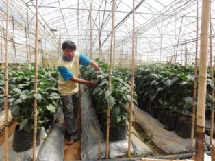 Mô hình trồng ớt ngọt trên giá thể