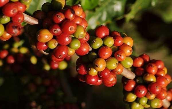 Cà phê là một trong những loại hàng hóa được giao dịch nhiều nhất trên thế giới.