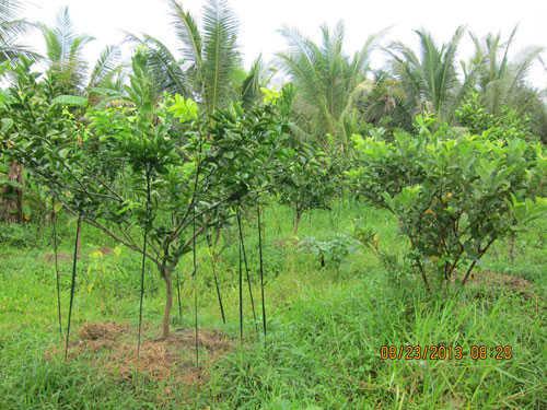 Mô hình trồng cam sành xen ổi