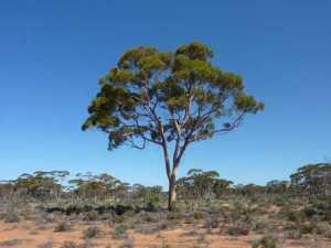 Một cây bạch đàn nơi các nhà nghiên cứu thu thập mẫu lá và cành cây để tiến hành nghiên cứu và phát hiện những hạt vàng có kích thước vô cùng nhỏ. Ảnh: Melvyn Lintern