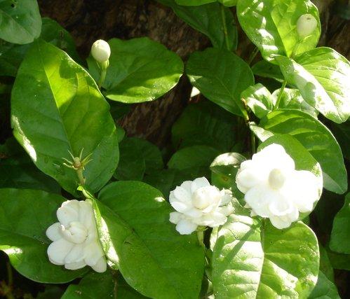 hoa nhai 1