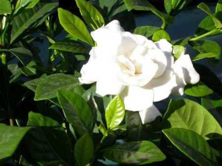 hoa cây dành dành