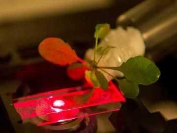 nhà khoa học sử dụng kính hiển vi cận hồng ngoại để đọc các dữ liệu của các cảm biến gắn ở ống nano được cấy dưới lá cây. (Nguồn: MIT)