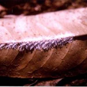 Rầy nhảy gây hại trên cây sầu riêng