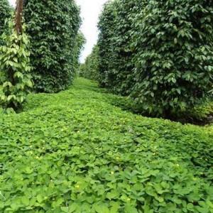 cỏ đậu - một loài cây che phủ cải tạo đất