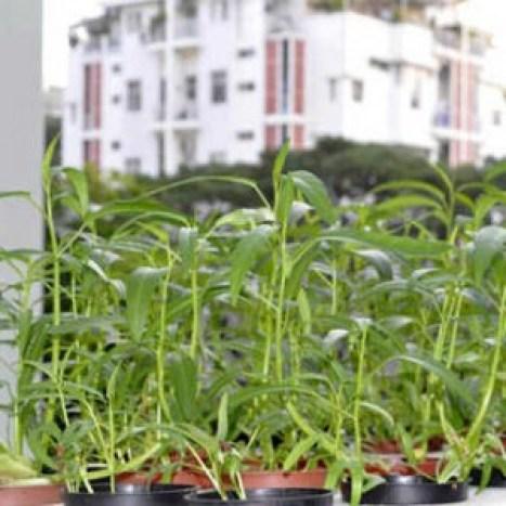 Dù chỉ có ban công nhỏ 12 m2 nhưng gia đình anh Văn ở TP HCM vẫn có thể trồng nhiều loại rau. Ảnh: Na Vy.