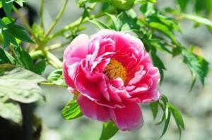 Hoa mẫu đơn tượng trưng cho sự phú quý