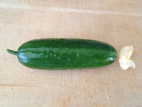 Nên thu hoạch khi quả dưa có chiều dài vừa phải (khoảng 15cm)