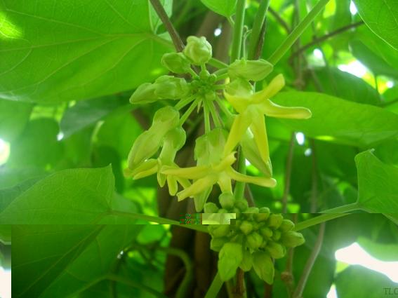Vừa lấy bóng mát mà còn có cả hoa làm thực phẩm ăn giải nhiệt ngày hè.