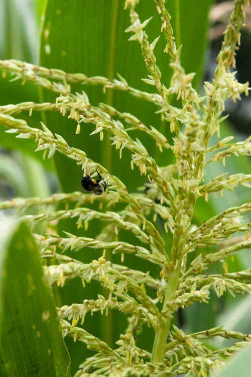 Ngô thụ phấn nhờ côn trùng và gió