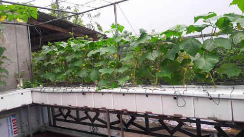 Kinh nghiệm 5 năm trồng rau trên đất vườn, anh Huy Vỹ đã quyết định chuyển sang phương pháp thủy canh trên sân thượng