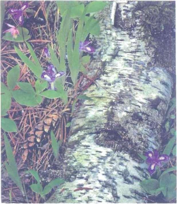 """Cây lan Calypso (C. Bulbosa) mọc cùng loài diên vĩ nước cạnh một khúc cây bulô mục. Nó còn được gụi lá """"lan hài tiên """", mọc ở những vùng rừng ôn đới và đầm lầy."""