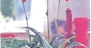 Loài lan Phragmipedium sẽ tươi trong vài tuần nếu đế cây ở nơi có ánh sáng, nhiệt (lộ ấm áp dễ chịu.