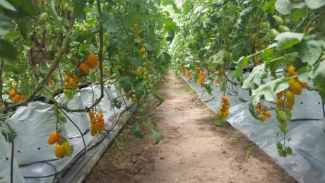 Cà trái cây được trồng trong hệ thống nhà kính và tưới nước tự động nhỏ giọt. Ảnh: NVCC.