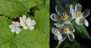 Cánh hoa màu trắng trong điều kiện bình thường (trái) và dạng trong suốt khi tiếp xúc với nước mưa. (Ảnh: Interflora)