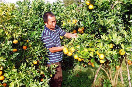 Cách bón phân mới này được các chủ vườn cam ở Hải Dương ưa chuộng vì cho cam thơm ngon, ngọt, bán được giá.