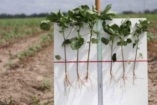 Mẫu cây bên trái được trồng bằng phương pháp xử lý hạt của Indigo còn bên phải là cây trồng từ hạt chưa qua xử lý.