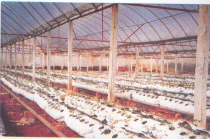 Trồng hoa hồng trên giá thể trong nhà lưới (không cần đất)