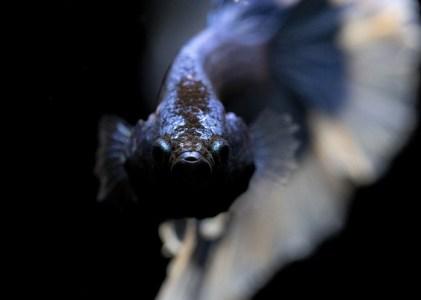 Ketahui Rahasia Dibalik Gelembung Telur Ikan Cupang