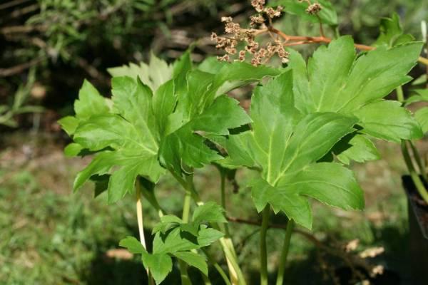Mukdenia rossii, Aceriphyllum rossii, Saxifraga rossii ...