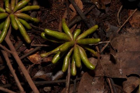 Xylopia aethiopica Useful Tropical Plants