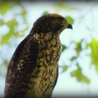 Hawk/Photography