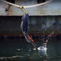 Acrobat Fishing