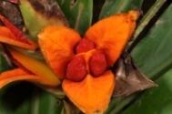 Hedychium_philippinense