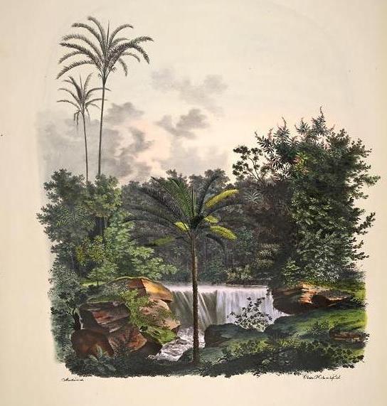 Palmeiras amazônicas. K. Fr. von Martius. Historia naturalis palmarum