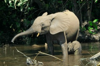Forest elephants (Loxodonta cyclotis) in the Mbeli River, Nouabalé-Ndoki National Park, Congo (Source: Thomas Breuer)