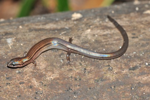 Earless skink (Lygosoma veunsaiensis), poorly known as it was described in 2012 based on a single specimen from Veun Sai, northeastern Cambodia.