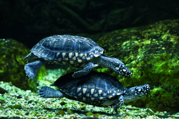 Semi-aquatic turtles – biology