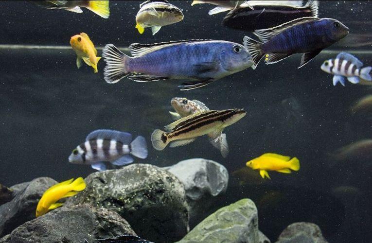 The pH buffers in the aquarium