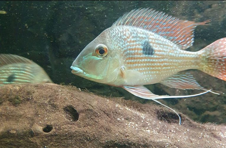 Earth eaters – cichlids from South America