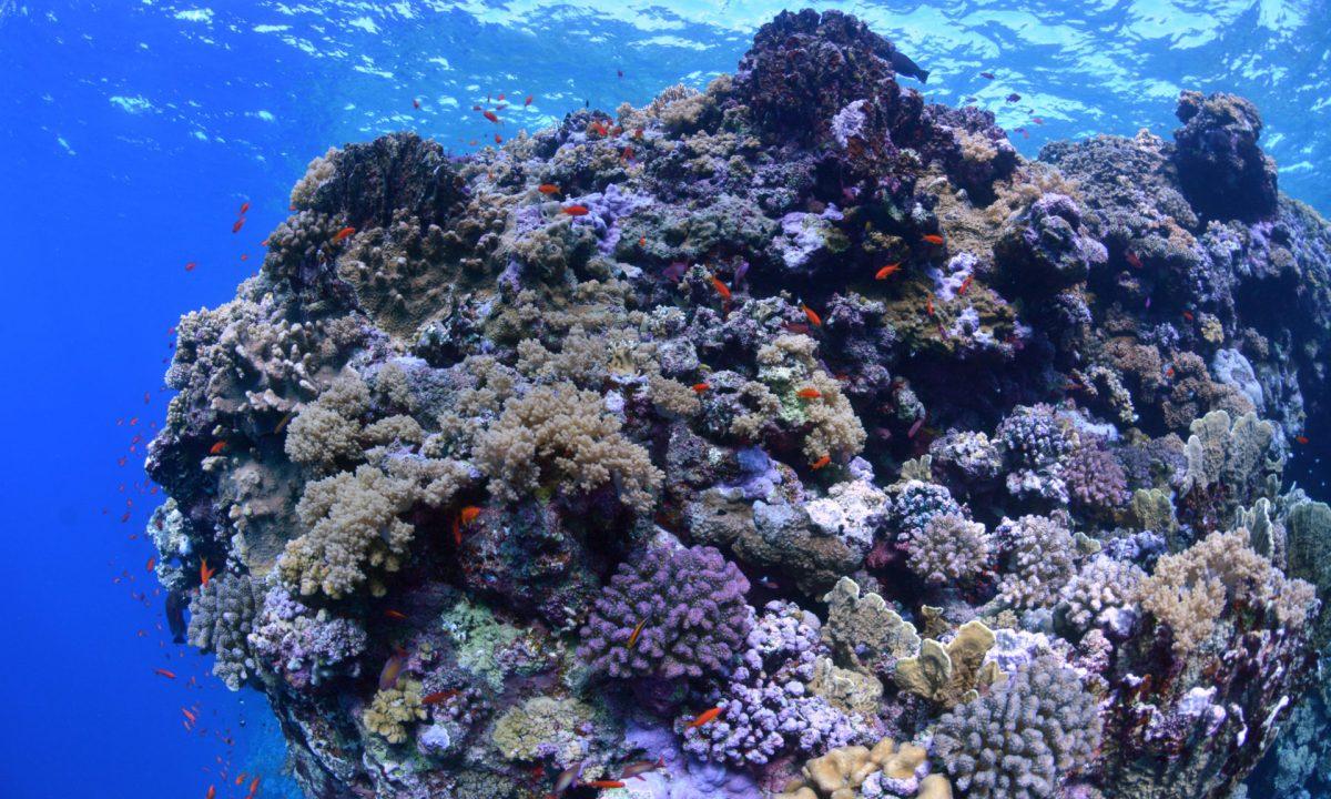 Koralowce na rafie koralowej