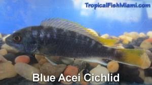 Blue Acei Cichlid