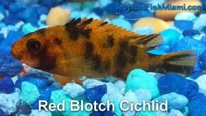 Red Blotch Cichlid