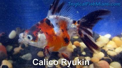 Calico Ryukin