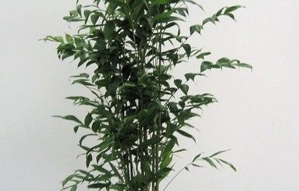 Chamaedorea Falcifera