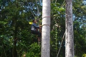 Climbing an aguaje palm