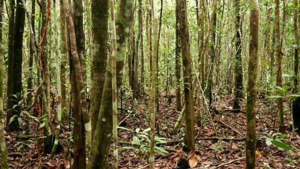 Thinly-spaced pole forest near the Rio Blanco