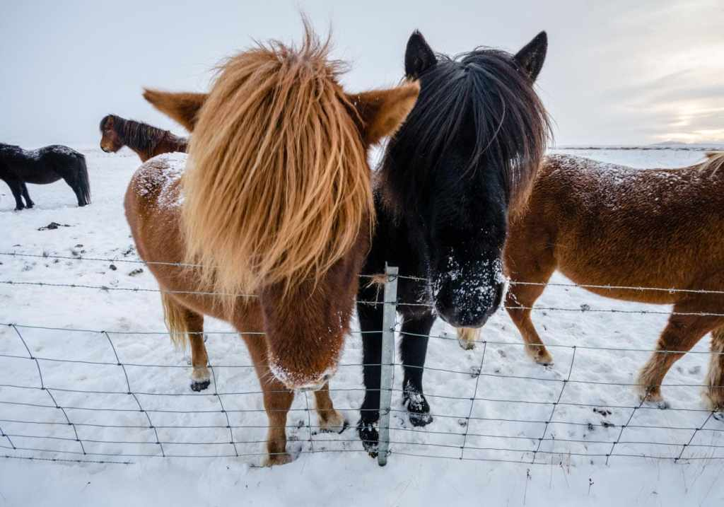 Icelandic ponies photographed with a wide-angle lens