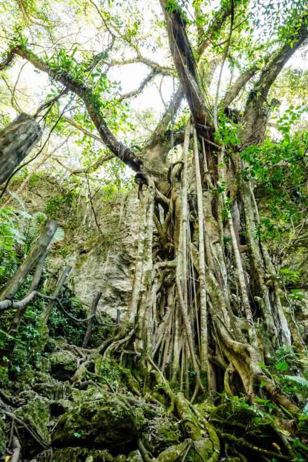 Enormous strangler fig in New Caledonia