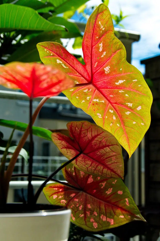 Big Red Storage >> Caladium growing indoors in pots - Tropics @Home