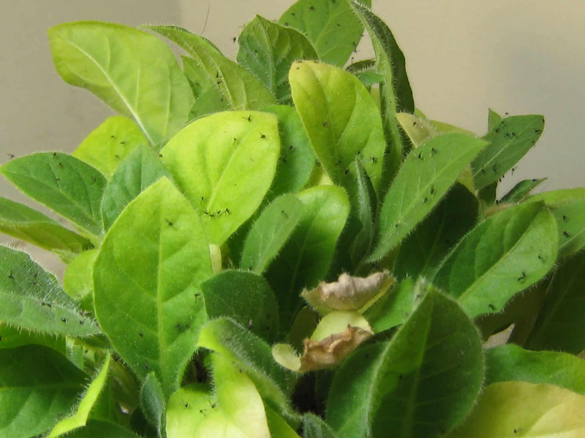 Fungus gnats in flower pots
